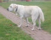 Labrador Deckrüde ORIS mit ZZL