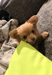 Chihuahua Welpe Langhaar Hündin