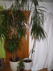 2 Sehr großer Drachenbäume Dracaena