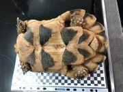 Breitrand Schildkröte