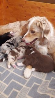 Reinrassige Australian Shepherd Welpen mit