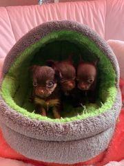 Chihuahua Welpen wollen bald ausziehen