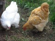Cochin groß Hennen