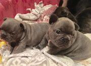 Entzückende französische Bulldoggenwelpen
