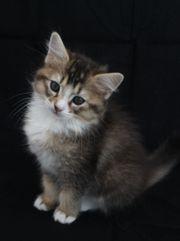Kitten Somali - Ragdoll Edelmix