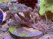 Clavularia sp tricolor Röhrenkoralle