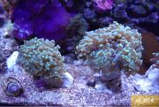 Korallen Korallenableger Meerwasser - Versand
