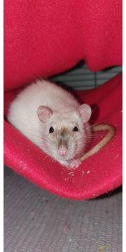 Ratten aus liebevoller Hobbyzucht suchen