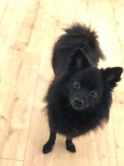 Zwergspitz Hundemädchen 1 Jahr