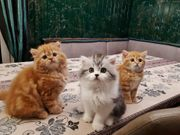 Kitten Britisch Kurzhaar BLH BKH