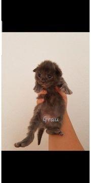 Zauberhafte XXL Maine coon kitten