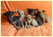 Hübsche Chihuahua kurzhaar Welpen abzugeben