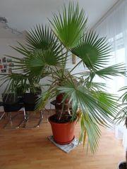 Palme 2 5 - 3 m