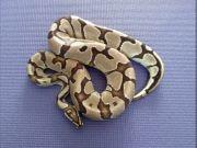 Königspython Python regius Morphen Adulte