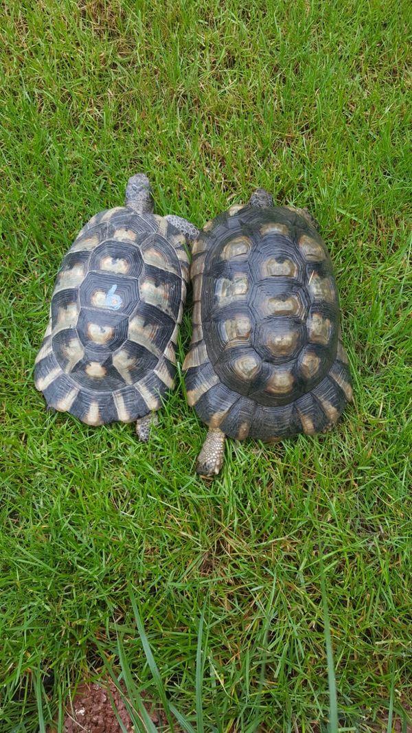 Gruppe Testudo Marginata / Breitrandschildkröten