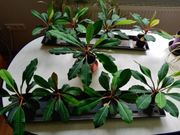 Euphorbie Madagaskar-Juwel Spuckpalme Euphorbia leuconeura