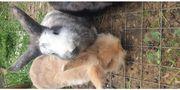 Löwenkopfkaninchen 2 Mädels und 2
