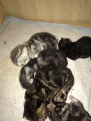 Bkh Kitten mit Papiere