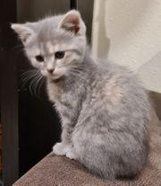 Persermischlinge Kitten Katzenbaby abzugeben