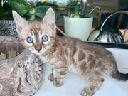 Bengal Kitten Mädchen Seal Mink