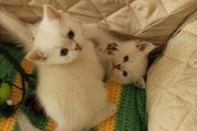 BKH Kitten silver shadet mit