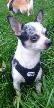 Chihuahua Deckrüde Merle