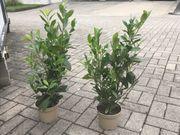 Lorbeer Heckenpflanzen 60-80cm