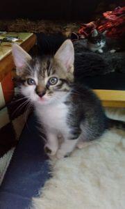 2 Katzenbabys Babykatzen Kitten ab