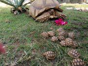 centrochelys sulcata spornschildkröte nachzuchten 21