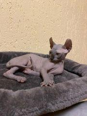 Abholbereit Reinrassige Sphynx-Elf Kitten