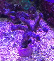 Korallen Packet 5 x Ableger