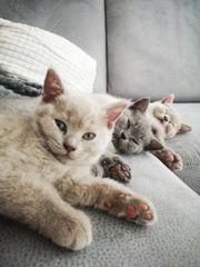 Reinrassige Brittischkurzhaar Kitten Bkh