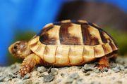 Griechische Landschildkröte Breitrand Schildkröte Testudo