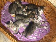 Süße Hauskatzenbabys