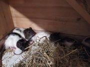 Ratten Tiere in Not Saar