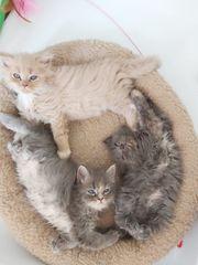 Maine Coone-Perser Mix Kitten