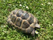 Zwei adulte maurische Landschildkröten männlich