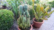 Kaktus 75 cm hoch und