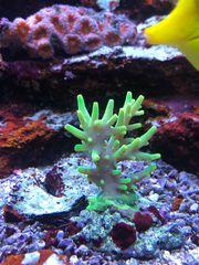 Meerwasser SPS Korallen