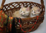 Reinrassige sibirische Kitten Jungs Papier