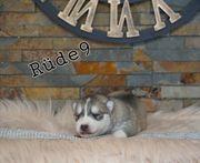 Siberian husky Welpen