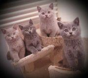 Schottisch fold BKH kitten in