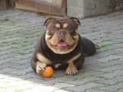 english bulldog muffin sucht ein