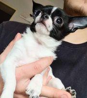 Zartes Chihuahua Mädchen