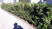 Kirschlorbeer 100cm hoch