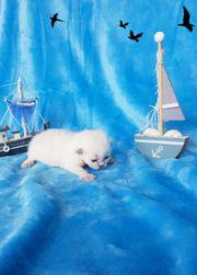 Wunderschöne BLH Kitten