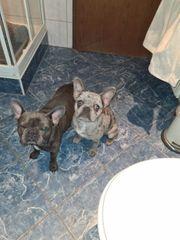Französische bulldogge BLUE-MERLE