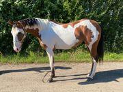 2019 geborener American Paint Horse
