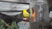 Kanarien-Weibchen gelb