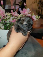 Wurfankündigung Pomeranian mix in Sonderfarben